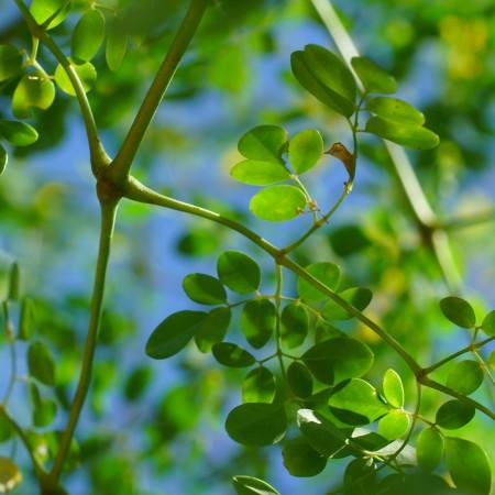 Moringa oleifera, dettaglio