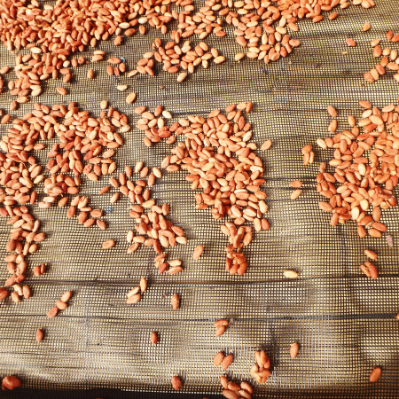 cacao in fase di essiccazione