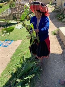 La signora J. intenta a staccare le pannocchie di mais dal fusto