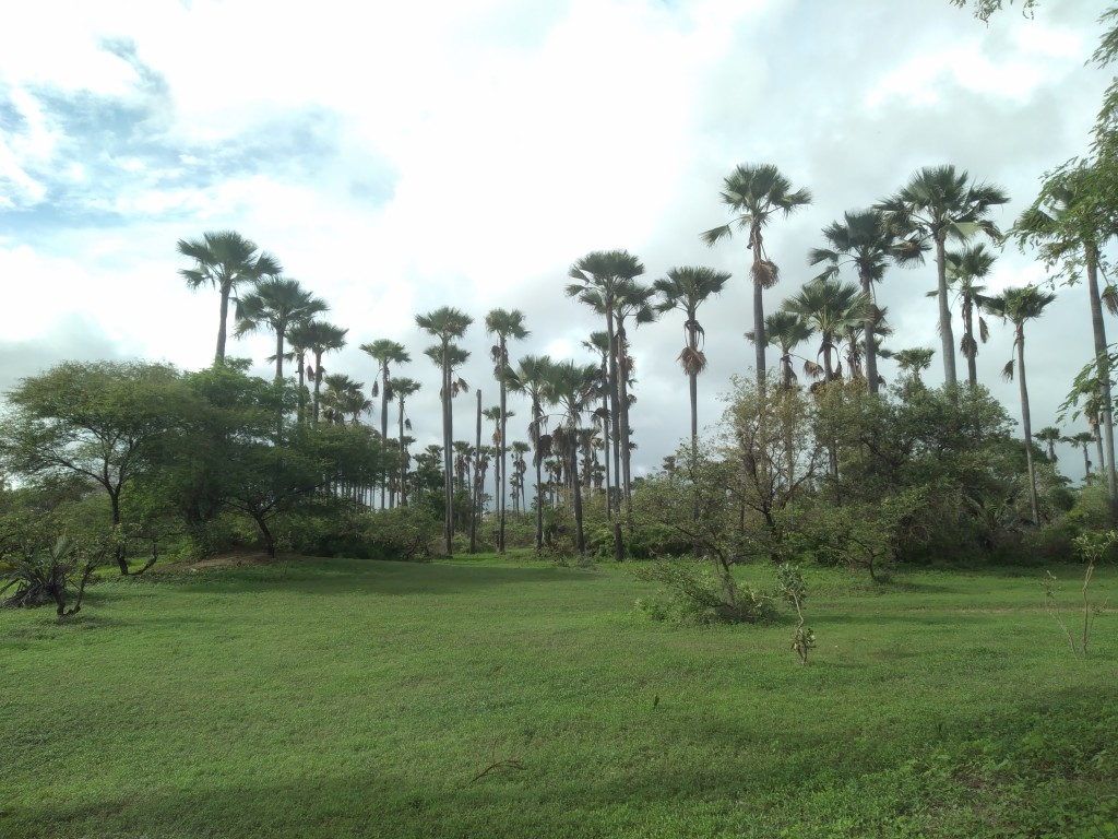 Foresta di palme di Yayem (Samba Dia)